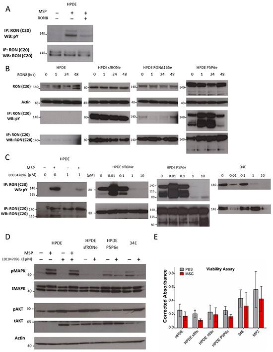 A RON specific small molecule inhibitor blocks isoform constitutive activation while monoclonal antibody therapy does not.