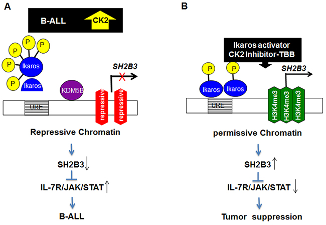 Model for the mechanism of Ikaros regulation of SH2B3 expression and IL7R/JAK/STAT signaling.
