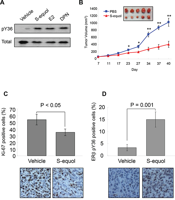 S-equol stimulates pY36 and inhibits tumor growth in vivo.