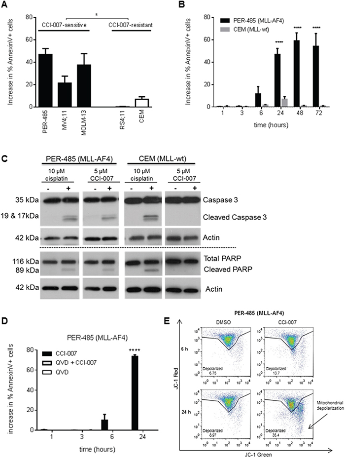 CCI-007 treatment results in caspase-dependent apoptosis in MLL-r leukemia cells.