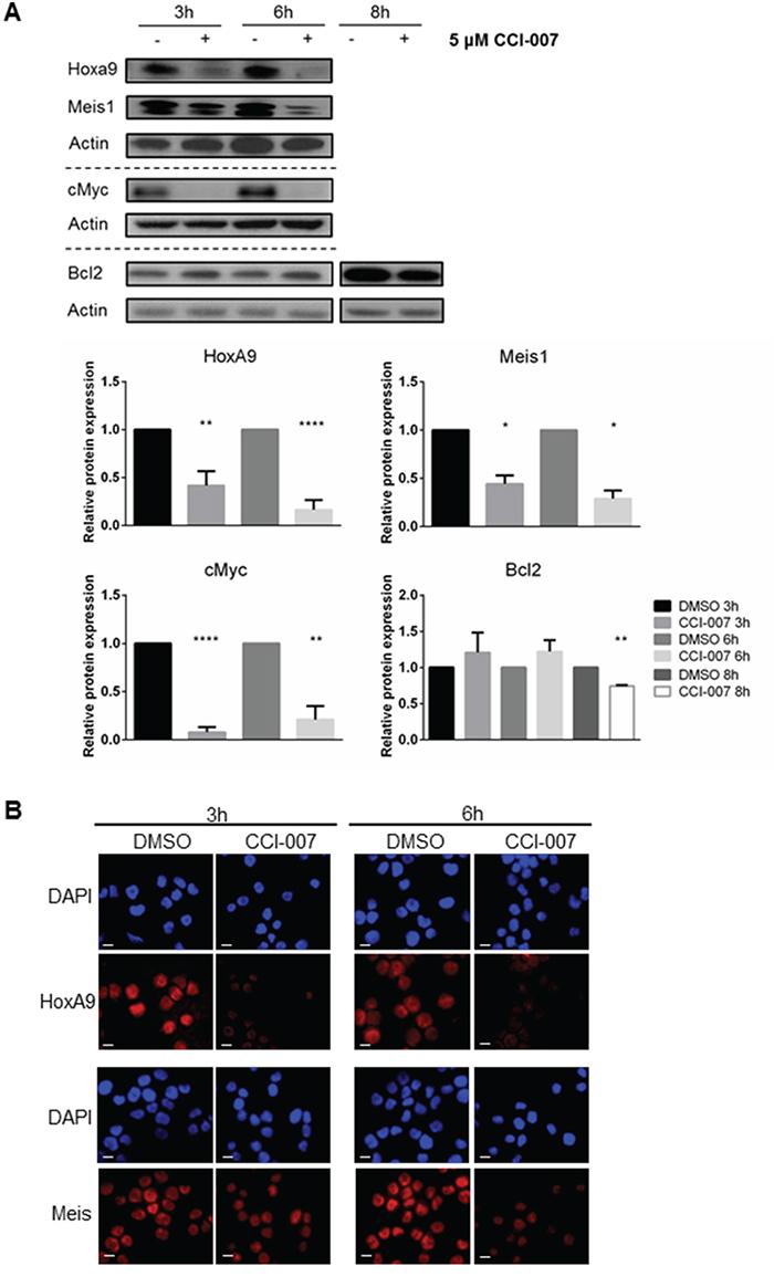 CCI-007 decreases expression of MLL-r downstream leukemogenic proteins.