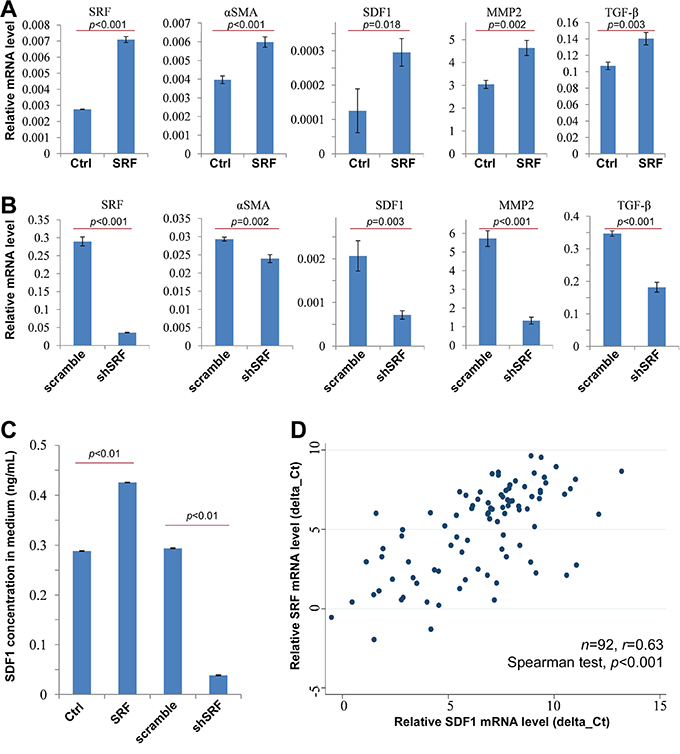 SRF upregulates the expression of αSMA and SDF1.