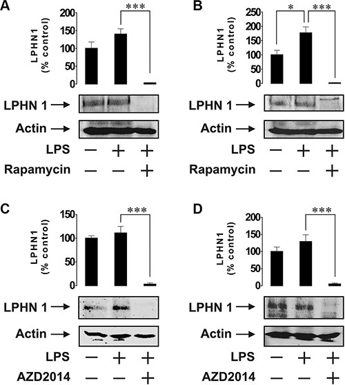 Expression of LPHN1 in U-937 and THP-1 cells depends on mTOR.