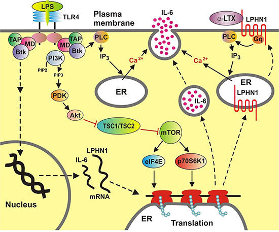 Functional integration of LPHN1 into AML cell signalling machinery.