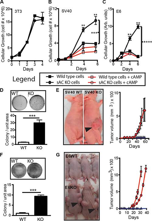 Loss of sAC activity enhances transformation in vitro.
