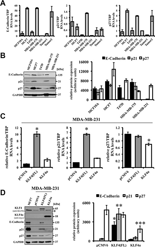 Effects of forced expression of KLF4(FL) and KLF4α in MDA-MB-231 cells.