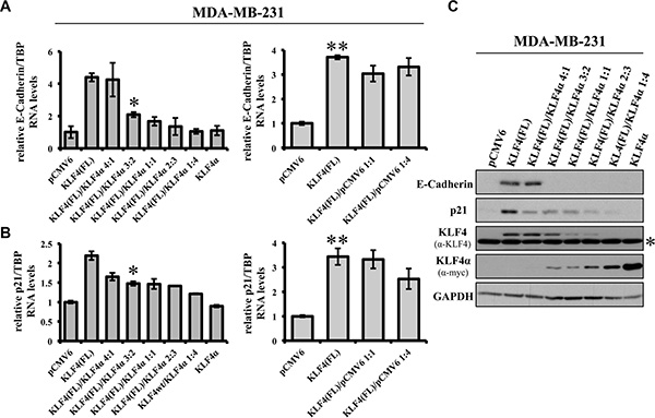 KLF4α antagonizes KLF4(FL)-mediated effects on E-Cadherin and p21.