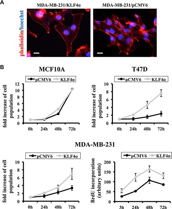 KLF4α stimulates proliferation in MDA-MB-231 cells.