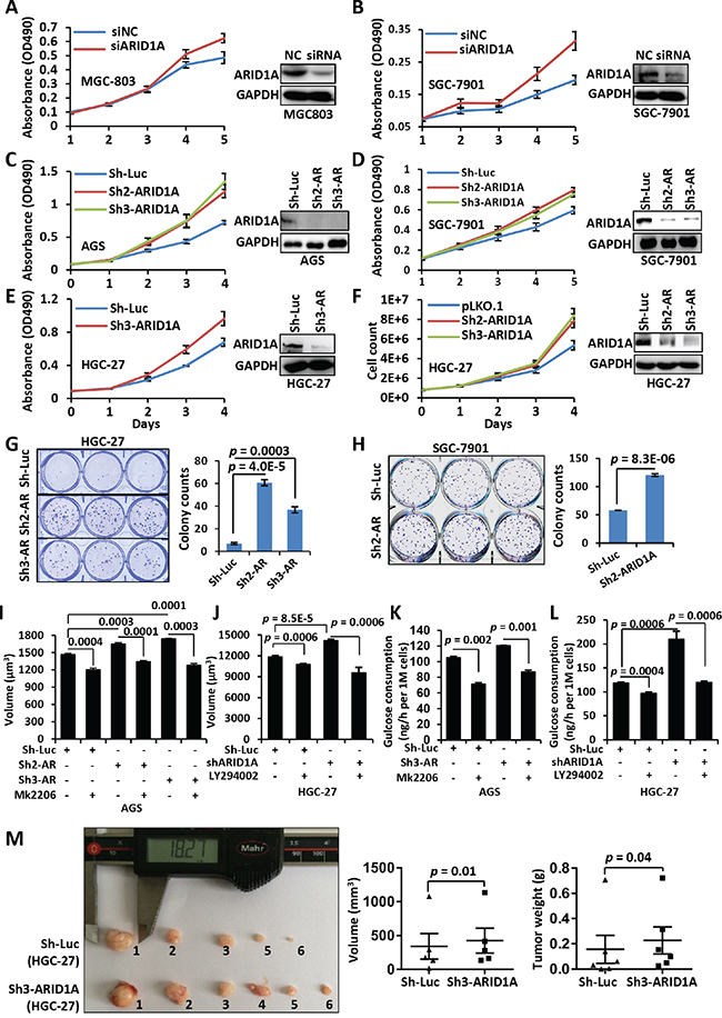 ARID1A silencing induces an accelerated proliferation of gastric cancer cells.