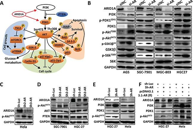 ARID1A knockdown activates PI3K-AKT signaling in GC cells.