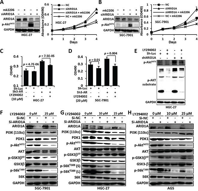 Mk2206 and LY294002 inhibited the proliferation and PI3K/AKT signaling of GC cells with ARID1A depletion.