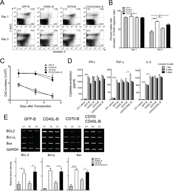Expression of CD40L prolong the survival of B-cells.