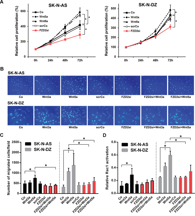Effects of Wnt3a and Wnt5a stimulation and FZD2 blockade on cell proliferation, migration and Rac1 activity in NB cells.