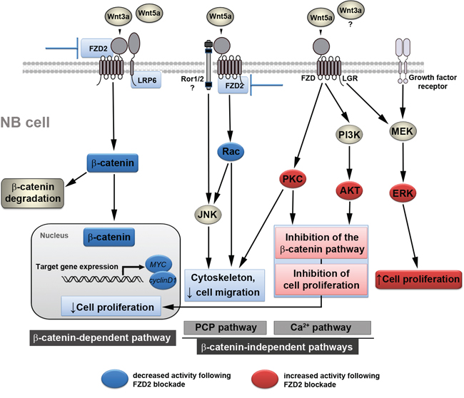 Proposed mechanism by which FZD2 blockade affects NB cell behavior.