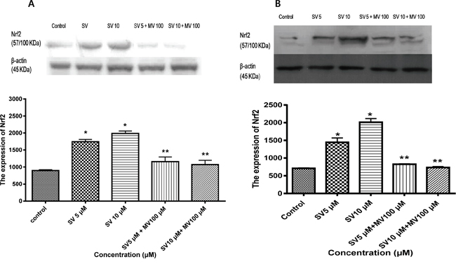 Simvastatin induces Nrf2 expression in HCT116 and HT-29 cells.