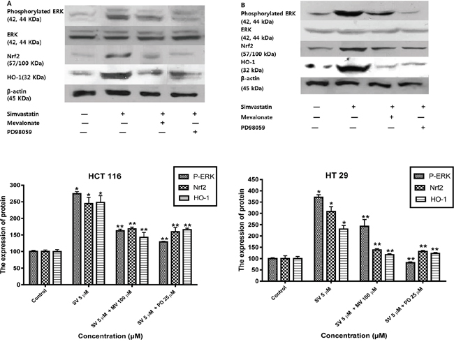 Simvastatin-induced ERK phosphorylation activates Nrf2 and HO-1 expression in HCT116 and HT-29 cells.