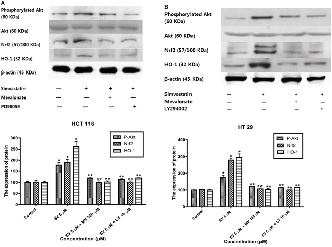 Simvastatin-induced PI3K/Akt phosphorylation activates Nrf2 and HO-1 expression in HCT116 and HT-29 cells.