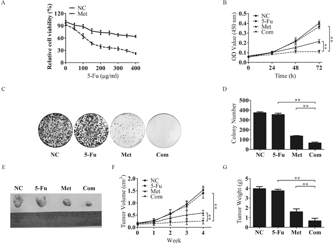 Metformin inhibits the proliferative capacity of Bel/Fu cells in combination with 5-Fu.