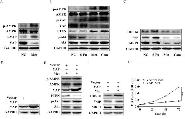 Metformin inhibits P-gp and MRP1 by suppressing YAP.
