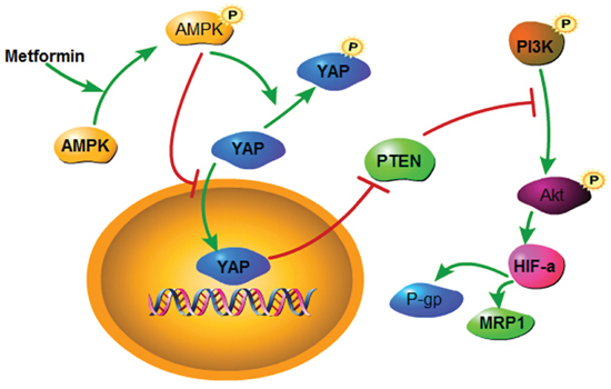 A schematic model elucidating the role of metformin in regulating the chemosensitivity of Bel/Fu cells.