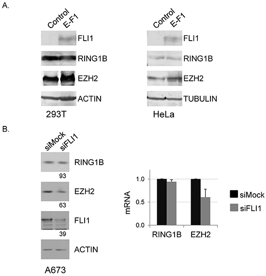 RING1B expression is independent of EWSR1-FLI1.