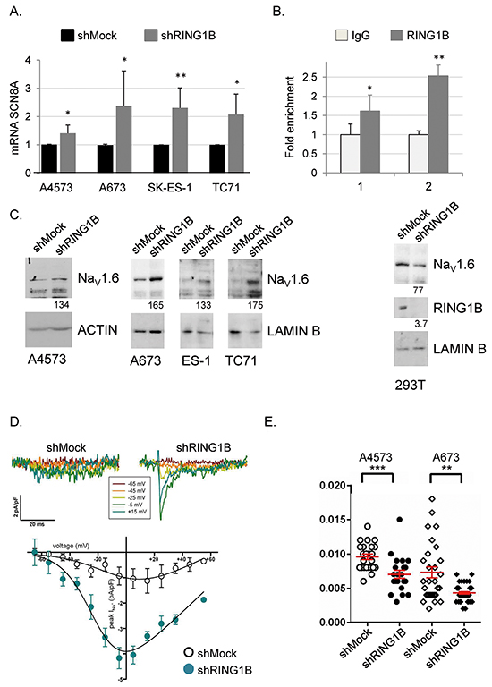 RING1B represses the NaV1.6 channel in ES cells.