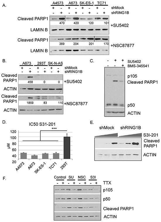 RING1B down-regulation sensitizes ES cells to undergo NF-κB-mediated apoptosis induced by FGFR signaling blockade.