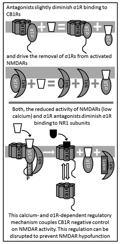Antagonists of σ1R release NMDAR from the negative control of CB1Rs.
