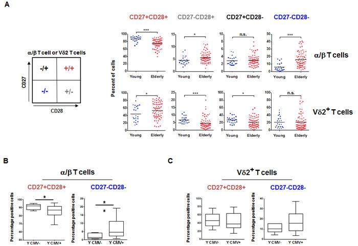 α/β and Vδ2+ T cells subsets aging.