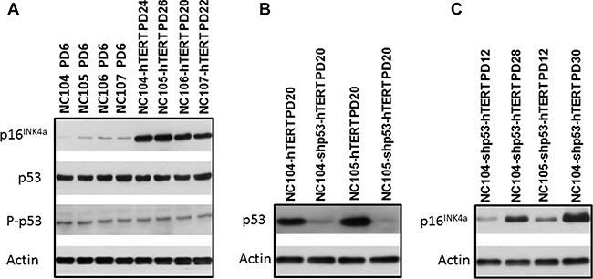 Western blotting analysis for protein expression of p16INK4a, p53, and actin that served as protein loading controls.