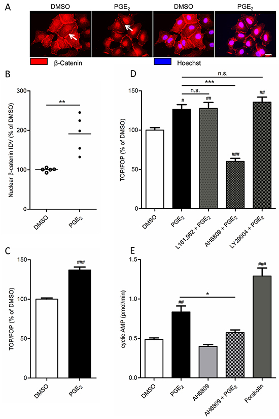 Effect of PGE2 on β-catenin nuclear translocation and transcriptional activity in A549 cells.