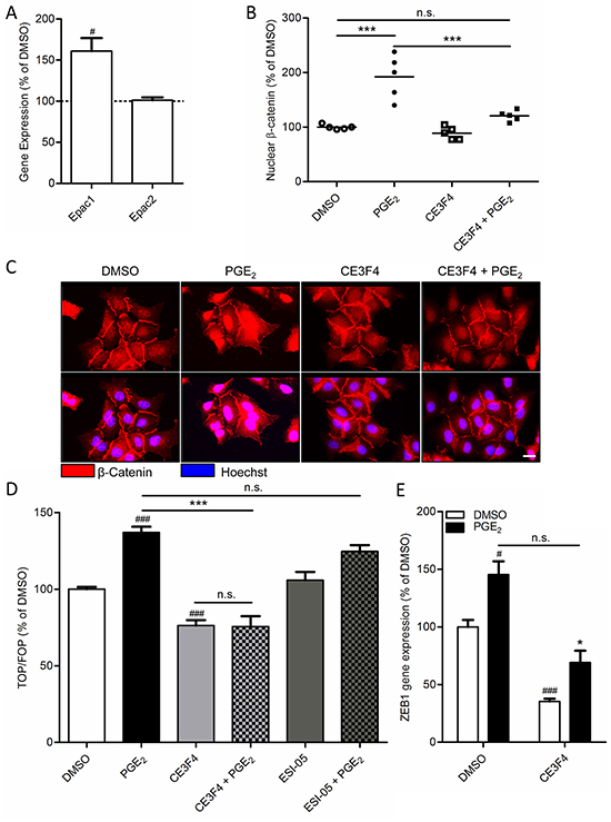 Role of Epac1 in PGE2-induced β-catenin nuclear translocation in A549 cells.