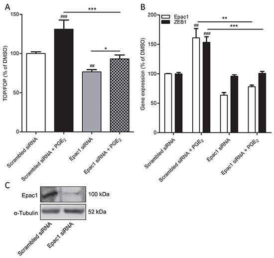 Epac1 knockdown prevents PGE2-induced β-catenin transcriptional activity in A549 cells.