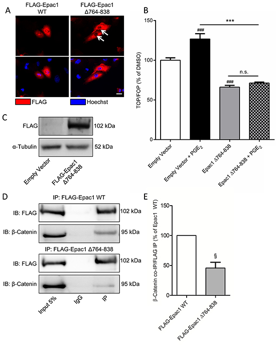 Expression of a mutant Epac1 with a deletion of the 764-838 domain has aberrant localization and prevents PGE2-induced β-catenin transcriptional activity in A549 cells.