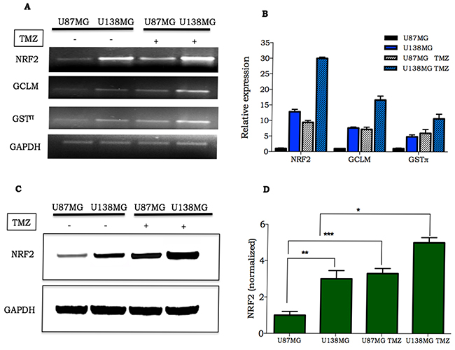 Expression of NRF2 and its target genes in glioma cell lines.