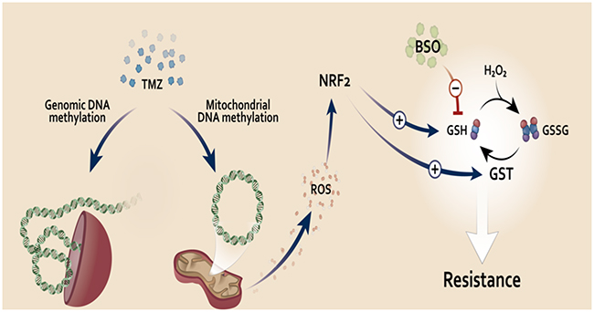 Proposed model of NRF2 role on TMZ resistance.