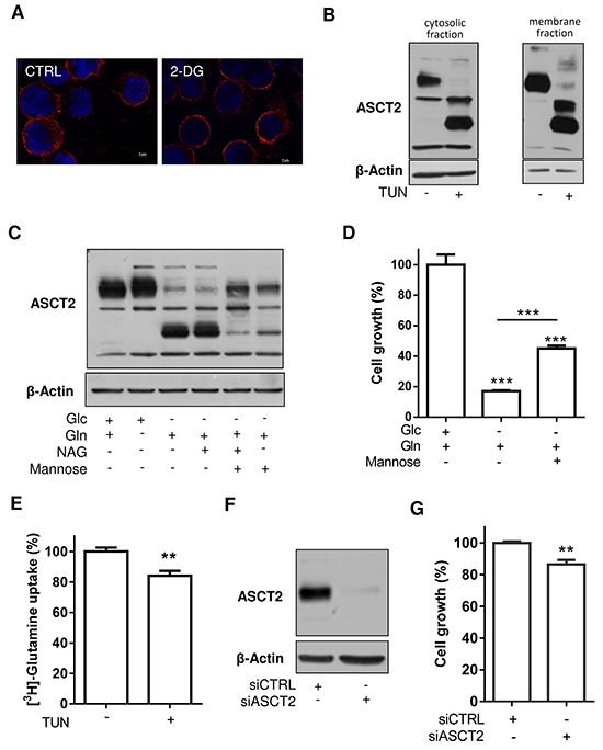 Inhibition of ASCT2 glycosylation and expression limitedly influences HL-60 leukemia cell growth.