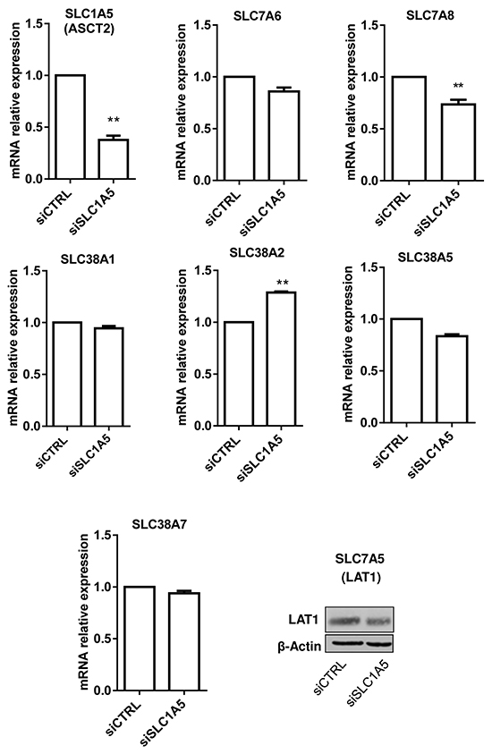 Silencing SLC1A5/ASCT2 marginally influences the expression of other glutamine transporters in HL-60 leukemia cells.