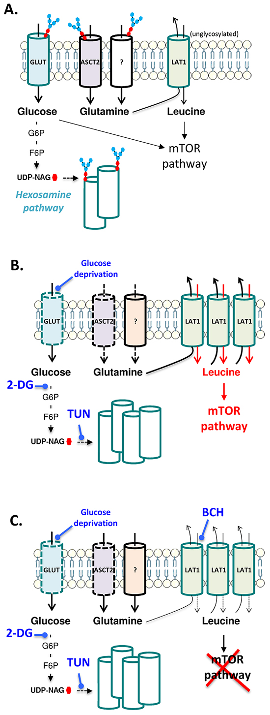 Schematic representation of the interplay between glucose metabolism and glutamine transporters in leukemia cells.