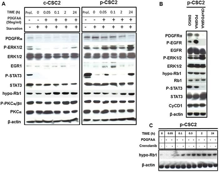Activation of PDGFRα/PDGF-AA axis induces different modulation of target genes in GBM p-CSC2 than in c-CSC2.
