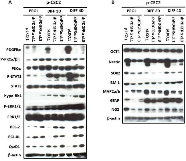 Modulation of multipotency, differentiation and survival markers in PDGFRα-depleted GBM CSC vs control cells.