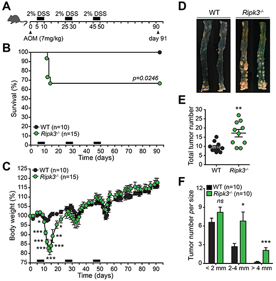 RIPK3 is critical for protecting against colitis-associated CRC.