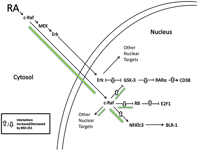 RA induces c-Raf nuclear translocation and binding to nuclear proteins.