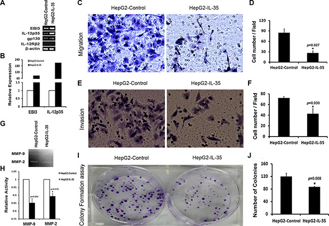 Over-expressing IL-35 in HepG2 cells reduced the activities of MMP-2 and MMP-9, inhibited cell migration, invasion and colony formation in vitro.