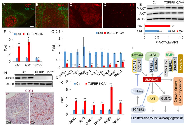 Constitutively active TGFBR1 alters ovarian cell proliferation, differentiation, and angiogenesis.