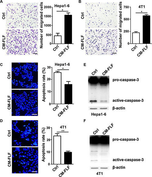 The conditioned medium of fibrotic lung-derived fibroblasts possesses chemoattracting and anti-apoptosis activity.