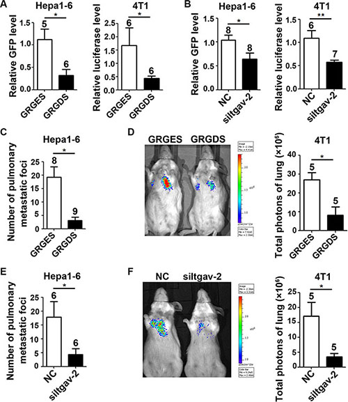 Blocking the ITGAV pathway in tumor cells inhibits the seeding and outgrowth of tumor cells in murine fibrotic lungs.