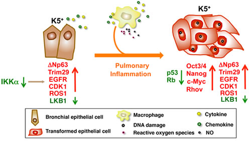 IKKα downregulation dysregulates the expression of multiple oncogenes and tumor suppressors in K5+ lung epithelial cells.