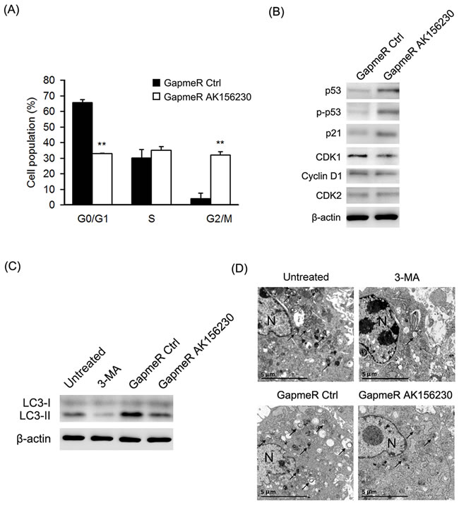 Effects of AK156230 on cell cycle progression and autophagy in MEFs.