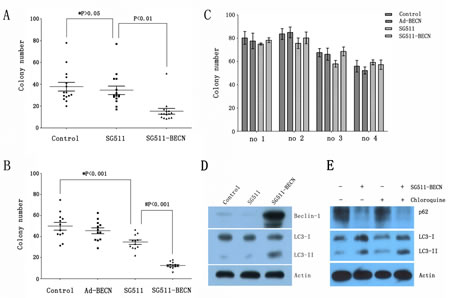 SG511-BECN induces autophagy in primary leukemic cells to preferentially inhibit CFU-L formation.